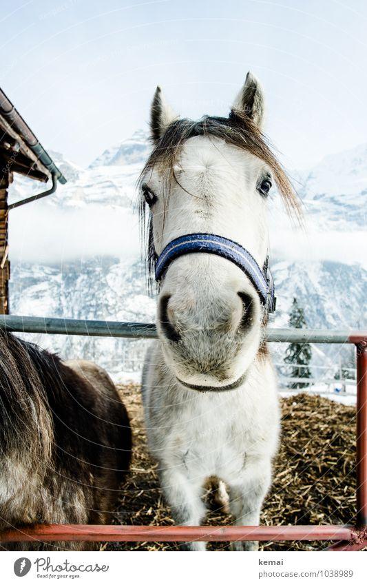 Kleiner Onkel Winter Edition schön ruhig Tier Freundschaft Zufriedenheit Kraft stehen Coolness Pferd Gelassenheit Zaun Fell Wolkenloser Himmel Tiergesicht