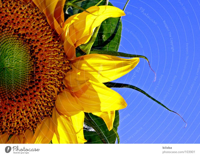 Die Sonne im Garten Himmel blau Blume gelb Blüte Blütenblatt Kerne Sonnenblume knallig himmelblau