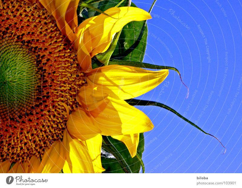 Die Sonne im Garten Sonnenblume Blume Blüte Blütenblatt Kerne gelb himmelblau knallig Gegenlicht Sonnenblunkerne Himmel Kontrast