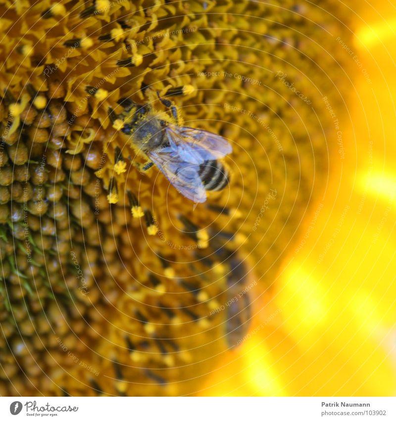 fleisige Bienchen Biene Sonnenblume Honig Blüte Pollen Insekt gelb Unschärfe Tiefenschärfe Pflanze Tier Lebewesen Samen Blütensamen mehrfarbig kräftige Farbe
