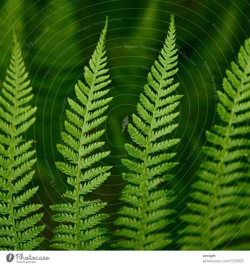 Farn Echte Farne grün pteridopsida Pflanze königsfarn tüpfelfarn Natur Farnblatt filigran Stengel gefiedert frisch Wachstum Botanik Makroaufnahme Sporen