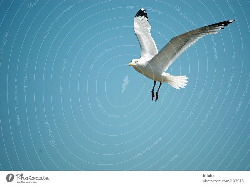 Über den Wolken Möwe weiß schwarz Meeresvogel Vogel Tier Unendlichkeit schön stahlblau tief Außenaufnahme Möve Möven elegant Seevogel Federfieh fliegen frei