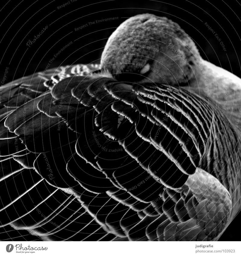 Gans Natur weiß ruhig schwarz Erholung dunkel Traurigkeit Vogel schlafen Trauer Feder Flügel edel Schnabel Wildgans