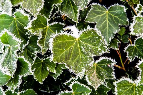 Brrrr, es wird kalt Natur Pflanze Landschaft Blatt Winter Umwelt Eis elegant ästhetisch Schönes Wetter Urelemente Frost Umweltschutz Grünpflanze Efeu