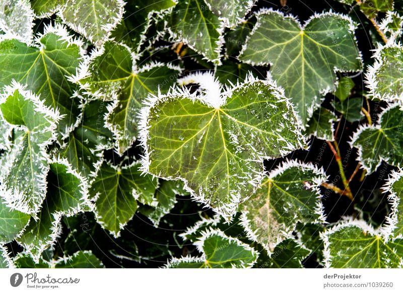 Brrrr, es wird kalt Natur Pflanze Landschaft Blatt Winter Umwelt Eis elegant ästhetisch Schönes Wetter Urelemente Frost Umweltschutz Grünpflanze Efeu Naturschutzgebiet