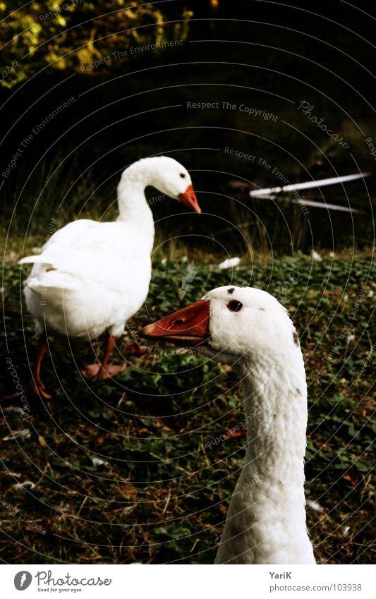 gänse des todes Gans weiß Vogel Teich Gewässer Wiese Gras Nahrungssuche Schnabel rot grün dunkel Hals Feder Wasser Küste Rasen Suche Blick orange konstrast Auge