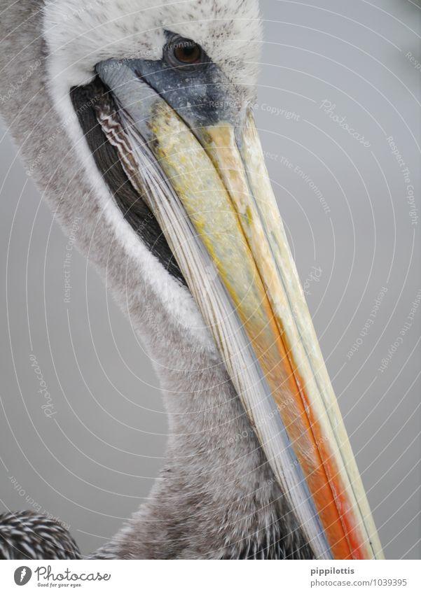 Pelikan Paracas Peru Tier Wildtier Vogel Tiergesicht Schnabel Kopf Blick warten nah grau orange Gelassenheit Ausdauer Abenteuer erleben exotisch Farbe Kontrolle