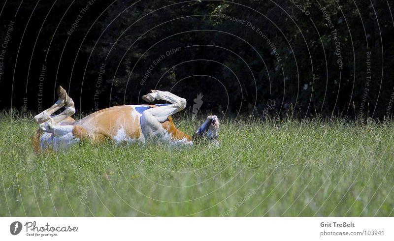 Umgefallen ;-) Luft Beine lustig Rücken Pferd Rasen liegen Säugetier
