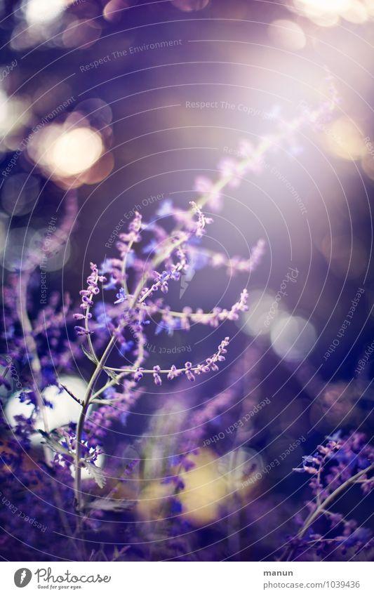 die Farbe Lila Natur Frühling Sommer Pflanze Blume Sträucher Blüte Salbeiblüten Lavendel Blühend Duft glänzend leuchten Wachstum Gesundheit natürlich positiv