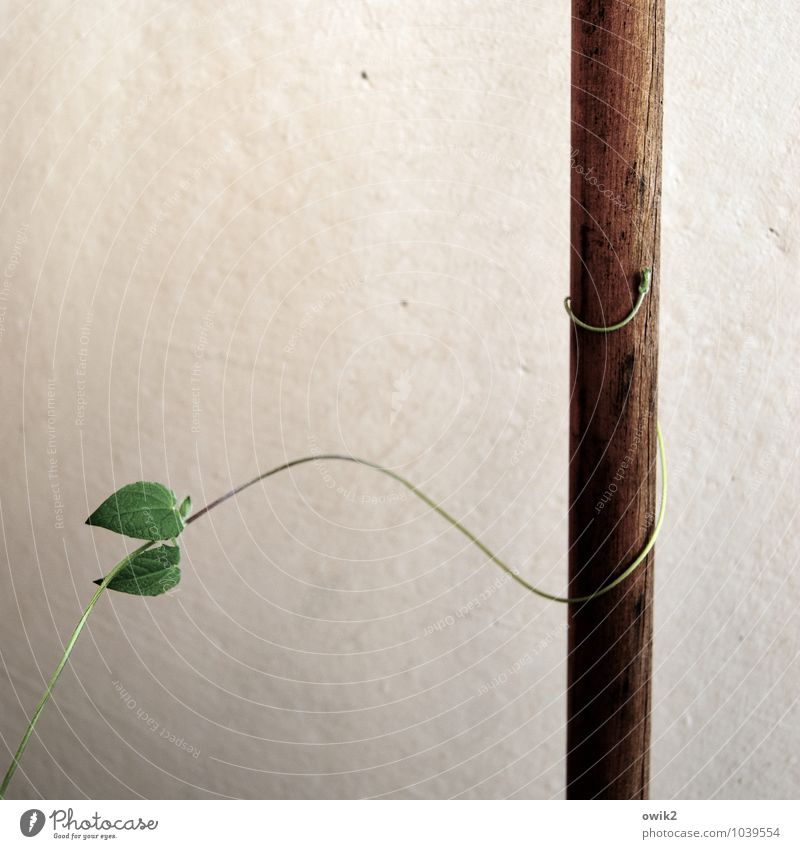 Klammerbeziehung Umwelt Natur Pflanze Blatt Grünpflanze Ranke Kletterpflanzen Holz Wachstum dünn fest nah natürlich Lebensfreude Mut Vertrauen Sicherheit Schutz