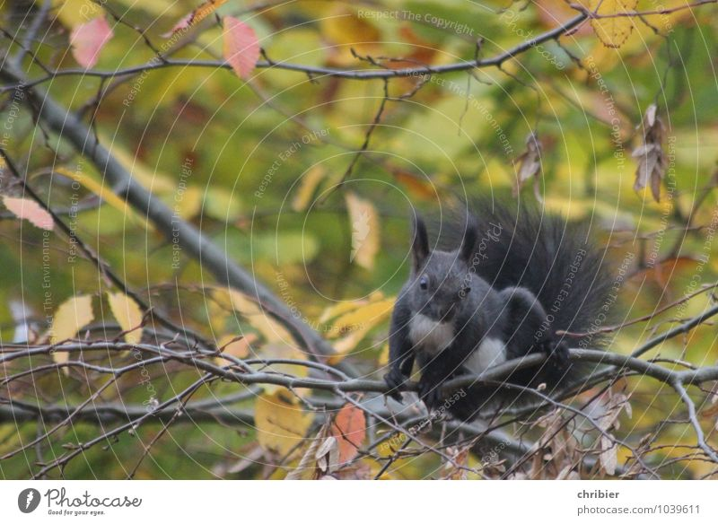 Hörnchen grün Tier schwarz Wald braun oben springen elegant sitzen niedlich Pause Neugier Sicherheit sportlich Klettern Leichtigkeit