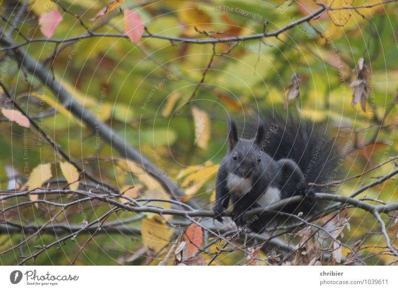 Hörnchen Wald Eichhörnchen 1 Tier Fressen sitzen springen sportlich niedlich oben braun grün schwarz Neugier elegant Leichtigkeit Pause Sicherheit Klettern