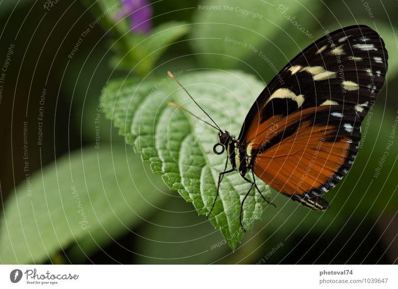 schön grün Farbe Blatt Tier schwarz Umwelt Gefühle natürlich klein braun elegant ästhetisch Neugier Gelassenheit Schmetterling