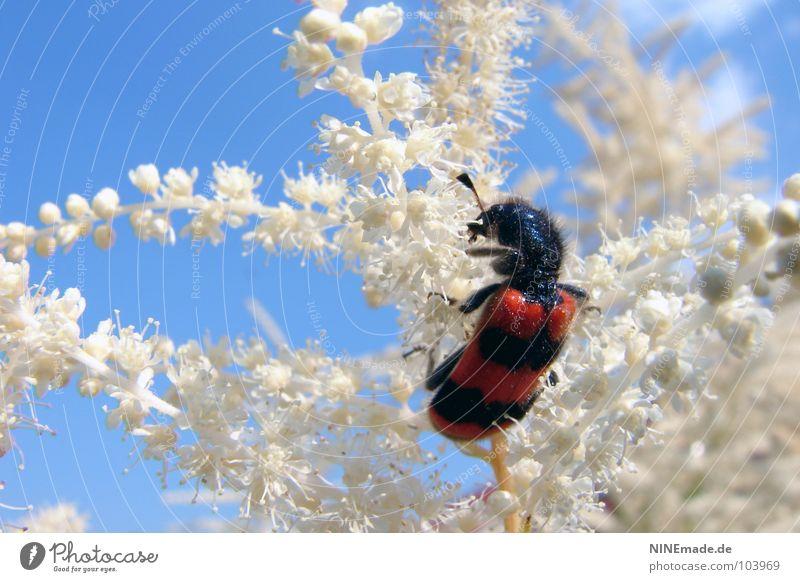 kleiner PuschelWuschel rot schwarz weiß himmelblau Käferbein zerzaust Blüte Pflanze Insekt krabbeln Sommer Schönes Wetter Sträucher Unschärfe gestreift niedlich