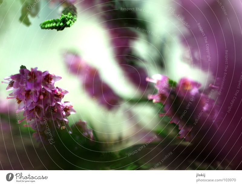 Frau Heidekraut Heidekrautgewächse Bergheide Pflanze Lebewesen violett Blüte klein Sträucher grün rosa Wiese Wachstum Reifezeit Sommer Natur buschig verzweigt