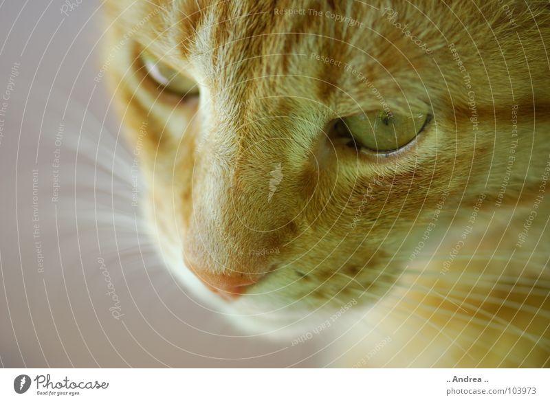 Red Tiger 5 Nase Fell Katze rot Schnurrhaar Säugetier tigi Hauskatze mietzi cat kitten schurrhaare getigert Auge Farbfoto