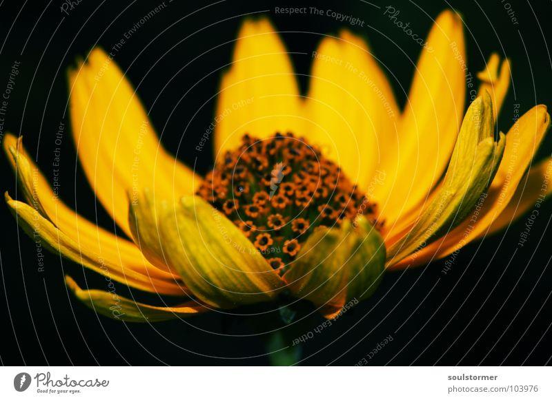 tolle Blume grün schwarz gelb Leben Garten Blüte Blühend Stengel