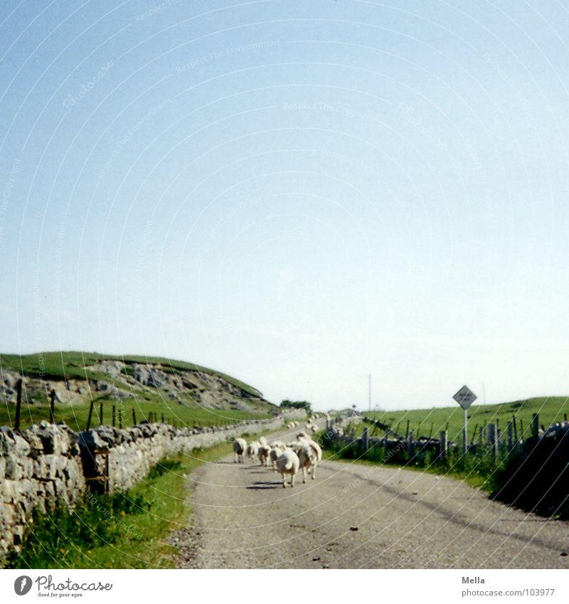 Rush hour in Schottland Schaf Schafherde Sommer grün Gras Mauer Steinmauer Großbritannien kommen Säugetier Verkehrswege Straße single-track-road back Himmel