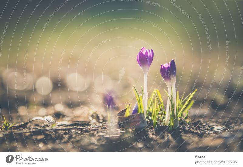 ES beginnt ! Natur Pflanze Sonnenlicht Frühling Schönes Wetter Blume Blüte Wildpflanze Wiese Blühend Wachstum natürlich schön braun gelb grün violett weiß