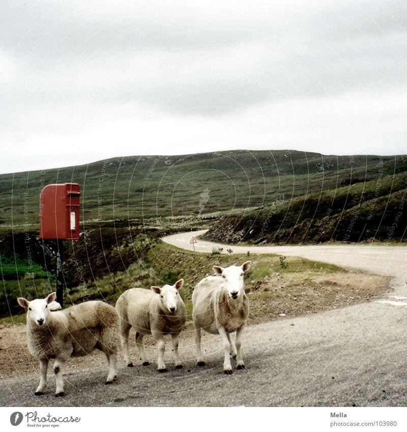 Postman, bring me a letter Schaf Schottland Briefkasten E-Mail rot Wolken grau Hügel Großbritannien Blick mäh Verkehrswege Säugetier Langeweile sheep mailbox