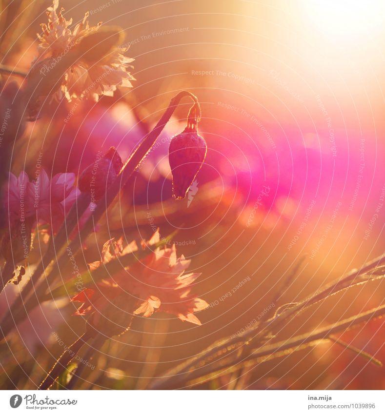 Blumenwiese Umwelt Natur Pflanze Sonne Sonnenaufgang Sonnenuntergang Sonnenlicht Frühling Sommer Klimawandel Schönes Wetter Blüte Wildpflanze Garten Park Wiese