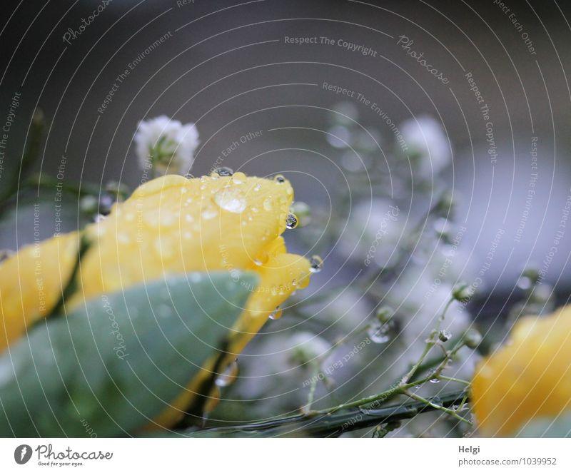 Wetter | Regentropfen... Umwelt Natur Pflanze Wassertropfen Frühling Blume Blatt Blüte Blühend glänzend liegen authentisch nass gelb grau grün weiß ruhig