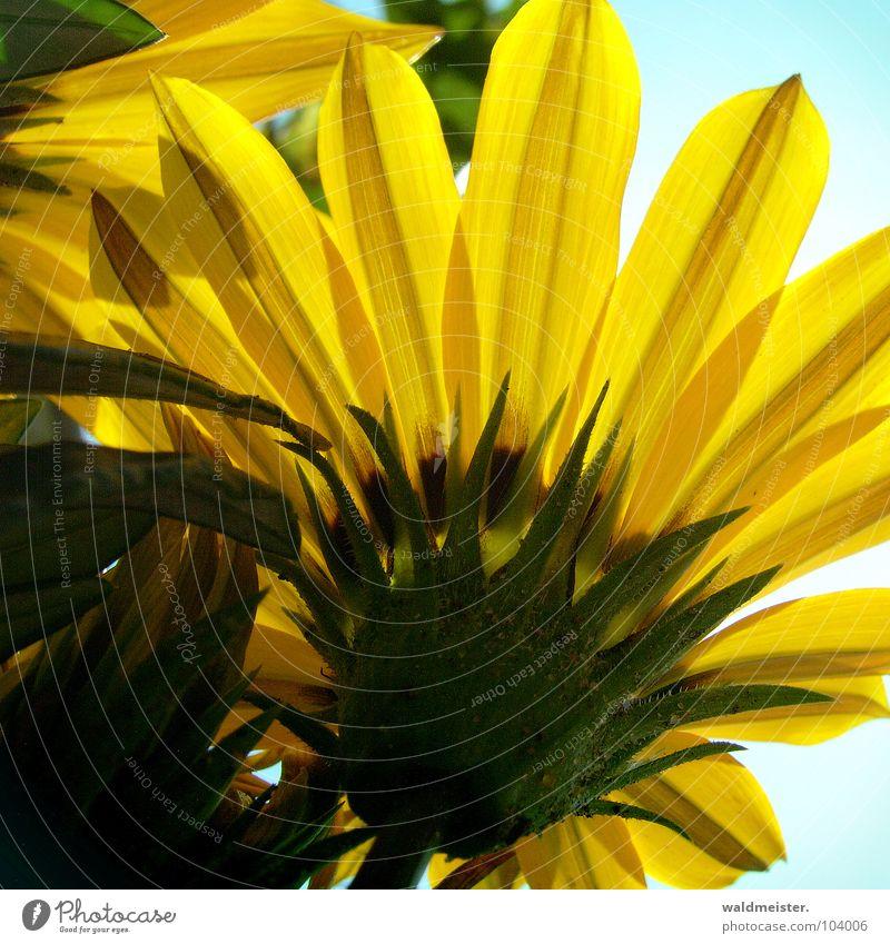 Mittagsgold Blume Blüte Gazanie Garten Blumenbeet Sommer Himmel Gegenlicht gelb grün Schatten Kontrast