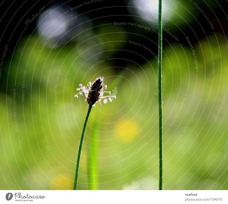Zuneigung grün Sommer Erholung Wiese Blüte Gras träumen Wärme klein liegen Physik zart Halm Brise