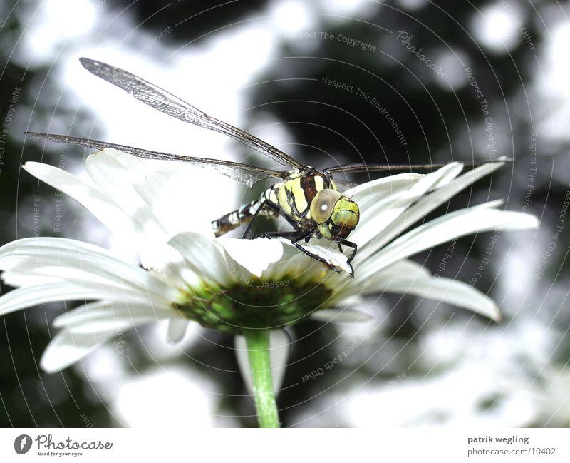 libelle Libelle Blume Nahaufnahme