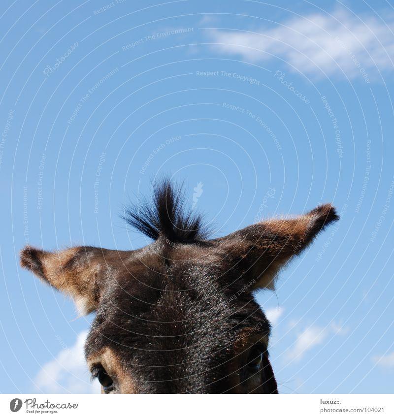 Donkey Punky Stil Haare & Frisuren warten Pferd Ohr Neugier Dienstleistungsgewerbe Säugetier Pony Scheitel unschuldig Tier Esel Mähne Hundeblick