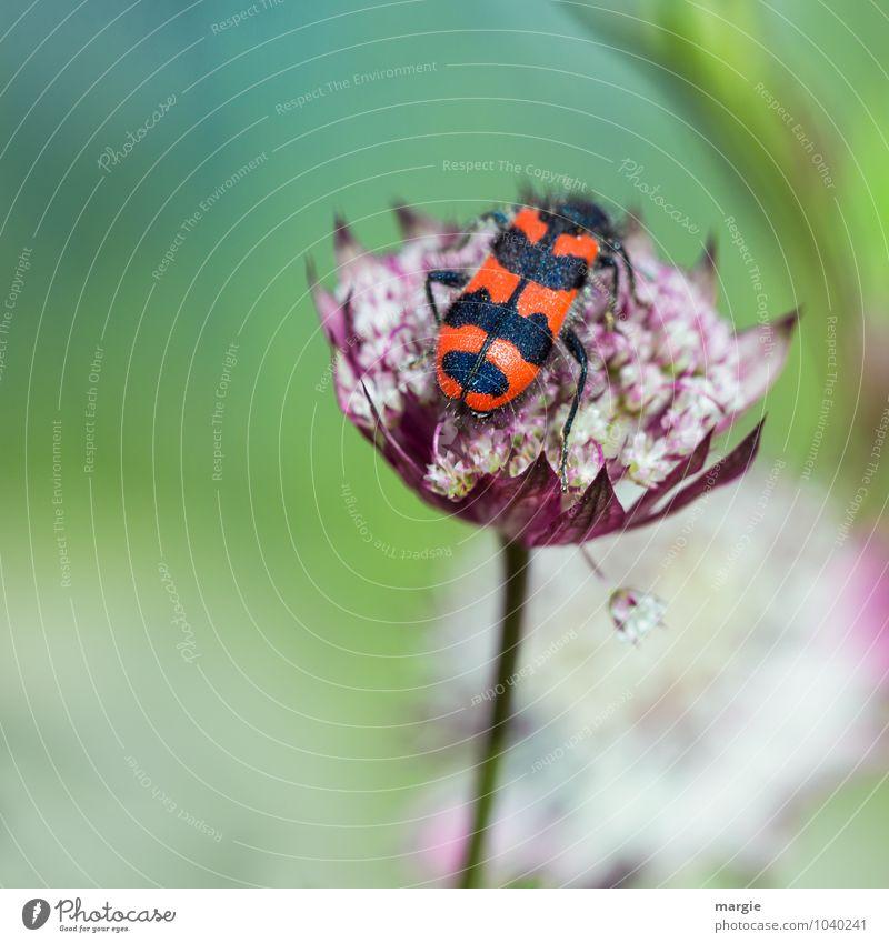 Fleißiger Käfer Natur Pflanze Frühling Sommer Blume Blüte exotisch Blütenstiel Blütenblatt Garten Beet Tier 1 fliegen Fressen krabbeln sitzen grün rot schwarz