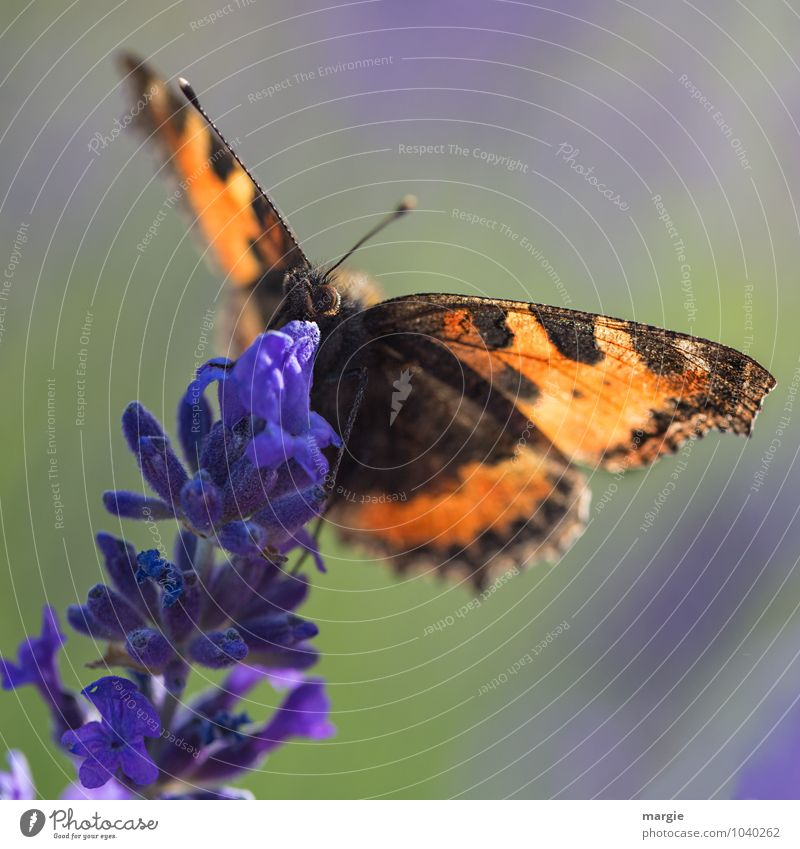 Sichere Landung, ein Schmetterling auf einer Lavendelblüte Natur Pflanze Blüte Grünpflanze Garten Tier Wildtier Tiergesicht 1 fliegen hängen krabbeln blau
