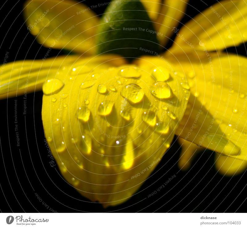 """Gelb auf Schwarz """"refreshed"""" Wasser Blume Sommer schwarz gelb Wassertropfen Seil Falte Flowerpower"""