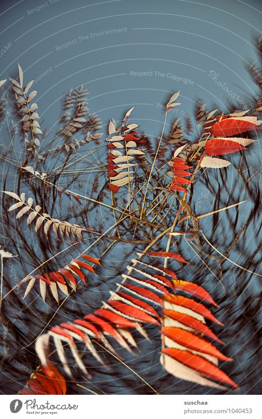 blattserie .. 6 Kunst Umwelt Natur Himmel Herbst Baum außergewöhnlich wild blau rot Surrealismus Blatt Zweige u. Äste Drehung Farbfoto mehrfarbig Außenaufnahme