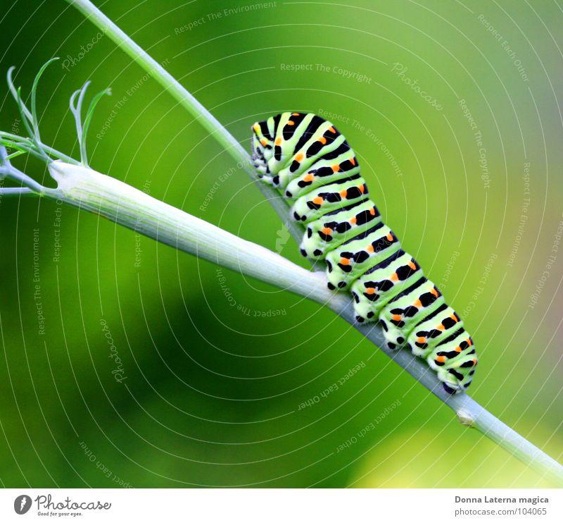 Mr. Butterfly schön grün schwarz Ernährung Lampe Garten orange warten klein Sträucher Ast Schmetterling Präsentation langsam Raupe