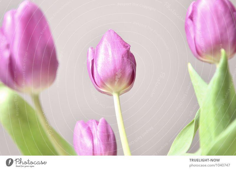 Natürlich | ...PINK LADIES - zum Weltfrauentag schön grün weiß Sommer Erholung Blatt ruhig Freude Leben Innenarchitektur Blüte Frühling Stil Gesundheit