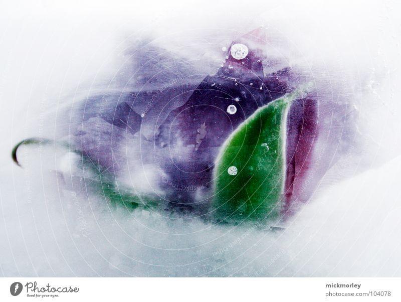 iceflower schön kalt frieren Winter gefroren Blume Blatt Pflanze weiß violett rot grün gelb schwer Eis Frost Feste & Feiern Stein