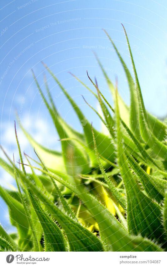 sonnenpflanze Sonnenblume Blume Pflanze Wolken Sommer Blüte aufgehen aufmachen grün Blühend bizarr Mangel außergewöhnlich seltsam Anomalie Blattadern lang