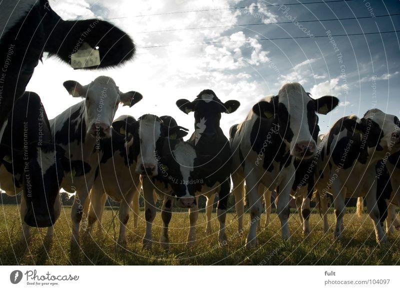 wasloshier Natur Tier stehen Neugier Kuh Reihe Wachsamkeit Säugetier Rind