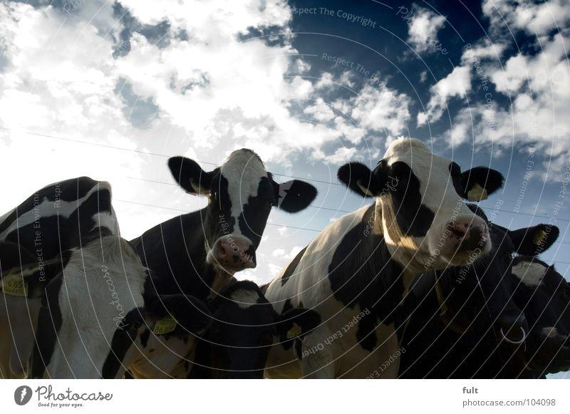 wasloshier2 Rind Kuh Tier stehen Neugier Wachsamkeit Säugetier Blick Natur Reihe