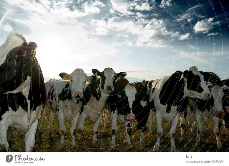 wasloshier3 Rind Kuh Tier stehen Neugier Wachsamkeit Säugetier Blick Natur Reihe