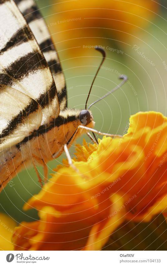 Schwalbenschwanzschmetterling Makroaufnahme Schmetterling gelb Fühler Staubfäden saugen Pollen Blume durstig Tagetes Streifen weiß Insekt Unschärfe Rüssel ruhig