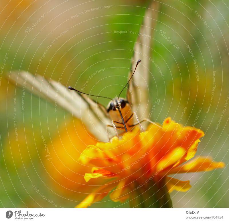 Besuch von einem Schwalbenschwanzschmetterling Natur weiß Blume Sommer Freude ruhig Auge gelb Fuß orange sitzen fliegen süß Flügel Streifen Frieden