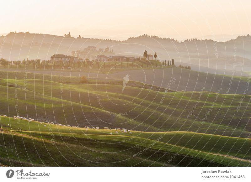 Auf dem toskanischen Feld grasendes Schaf in der Abendsonne. schön Haus Natur Landschaft Tier Himmel Wolken Horizont Baum Gras Wiese Hügel Dorf grün Italien