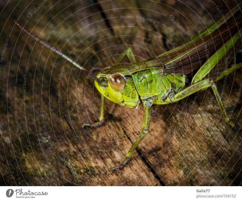 Flip der Grashüpfer Insekt Biene Maja klein grün springen hüpfen Körperhaltung Fühler Tier Lebewesen Sommer Salto Makroaufnahme Heuschrecke Natur animal Auge
