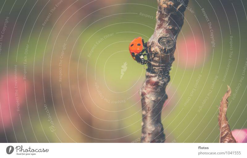 Käfer-Sonnenbad Tier Wildtier Marienkäfer 1 krabbeln sitzen braun grün rosa rot schwarz Natur Farbfoto Außenaufnahme Nahaufnahme Menschenleer Textfreiraum links