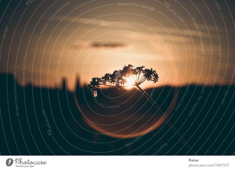 Heiligenschein =) Natur Pflanze Himmel Sonne Sonnenaufgang Sonnenuntergang Sonnenlicht Sommer Schönes Wetter Gras Blüte Wildpflanze Feld leuchten natürlich gelb