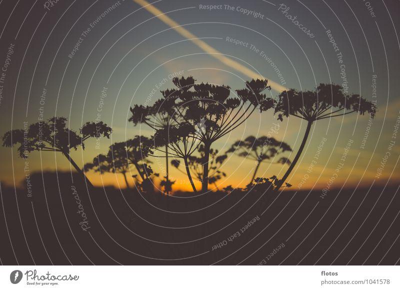 Afrika ? Natur Landschaft Pflanze Himmel Nachthimmel Sonnenaufgang Sonnenuntergang Sommer Schönes Wetter Gras Wildpflanze Feld natürlich schön blau gelb gold