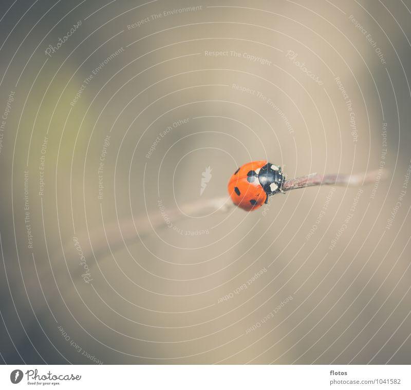 Allein allein .. Tier Wildtier Käfer Marienkäfer krabbeln Natur Farbfoto Außenaufnahme Nahaufnahme Menschenleer Textfreiraum rechts Textfreiraum oben