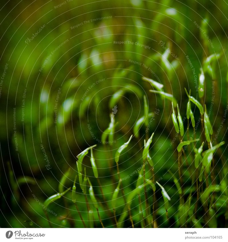 Moos Natur Pflanze grün Hintergrundbild klein Wachstum weich Stengel Botanik Nest Flechten Waldboden Sporen Symbiose
